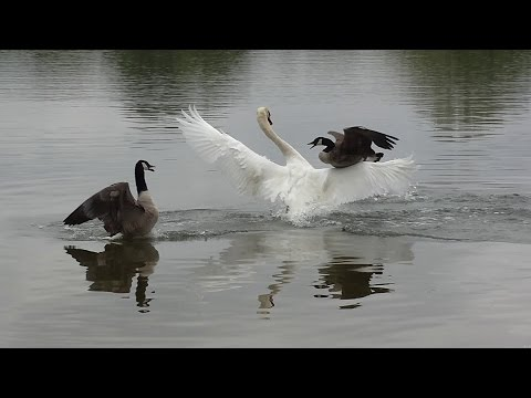 Swan attack ! Geese protect their chicks.