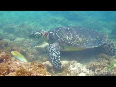 阿嘉島2014ウミガメ