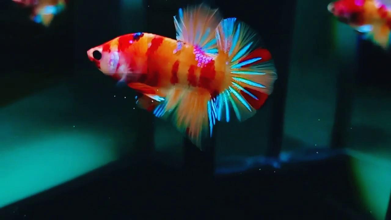 Ikan Cupang Nemo Candy Oren Grade A Youtube