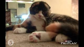 Шотландская вислоухая кошка – все о породе кошек – Purina Pro Plan Ukraine