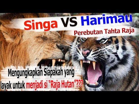 Singa Vs Harimau : Pertarungan Perebutan Tahta Raja
