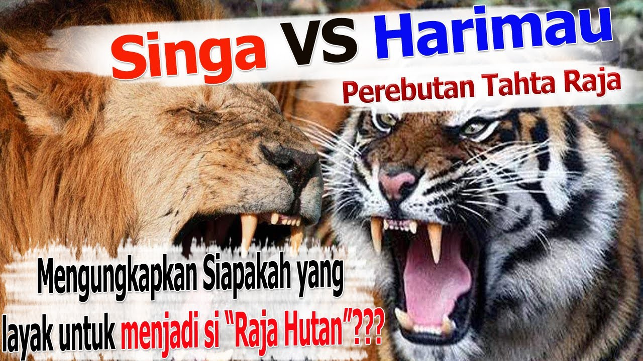 Singa Harimau Pertarungan Perebutan Tahta Raja Youtube Gambar