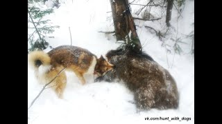 Лайки поймали кабана. Охота с лайками на кабана./ Laika caught boar. Hunting for wild boar with dogs