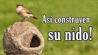 Así Construyen su Nido! 😵 Wow Arquitecto no Diplomado! (el Hornero) 🐦