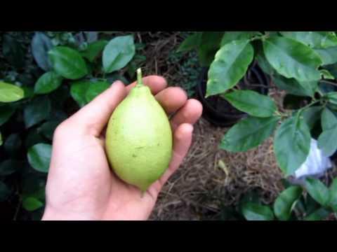 лимон лунарио ?, первый плод.
