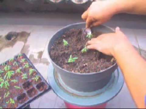 growing cherry tomatoes from seeds update youtube