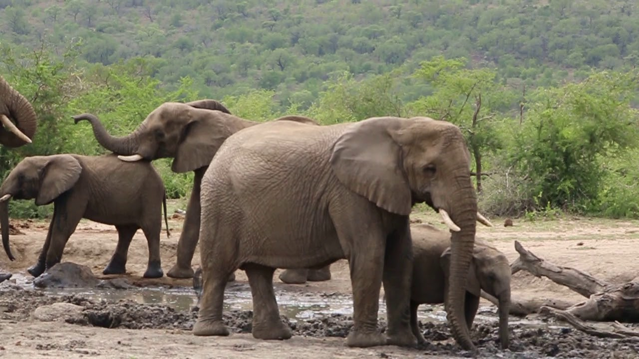Elephant Information, Facts, Pictures & Video Learn More Big