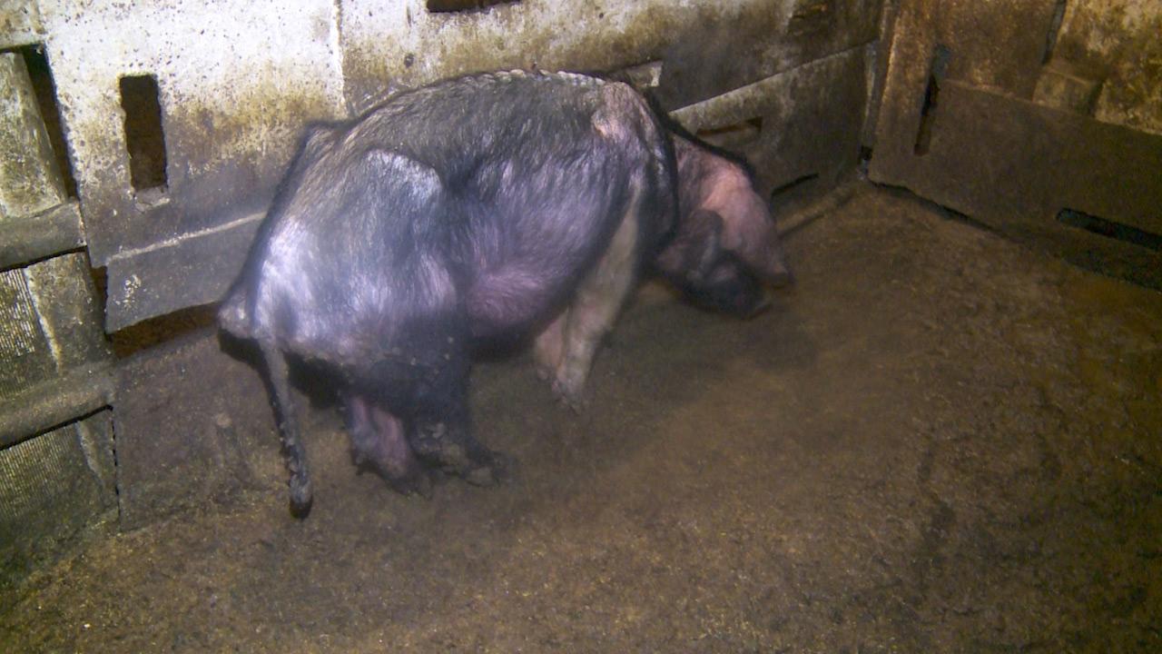 какой худая свинья фото солдат захваченных берлине