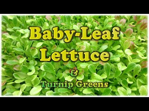 baby leaf lettuce turnip greens youtube. Black Bedroom Furniture Sets. Home Design Ideas
