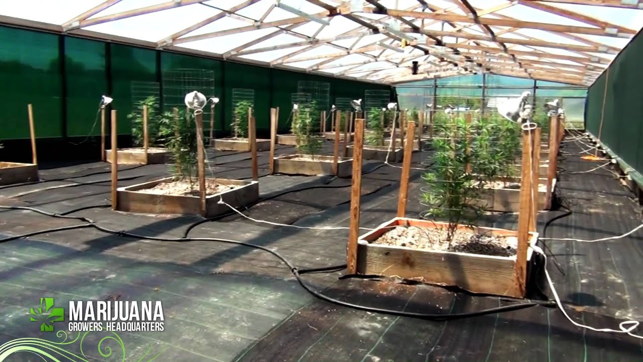 How To Grow Marijuana Like A Pro Big Sluggers 2012