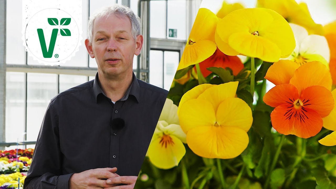 Hornveilchen bekommen gelbe Blätter woran liegt das? Volkers Gartenwissen YouTube ~ 24203331_Sukkulenten Bekommen Gelbe Blätter