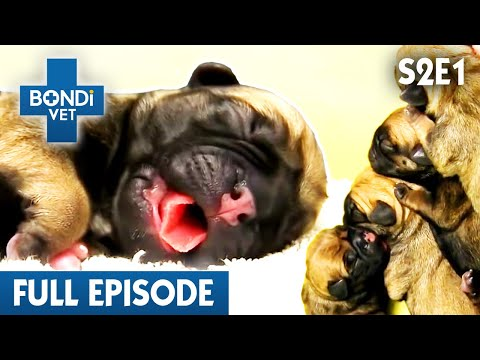 Newborn Puppy Not Breathing | S02E01 | Bondi Vet