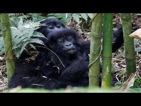 Population of mountain gorillas up, Rwanda to release census figures