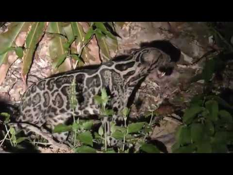 Finally Found You, Clouded Leopard!!!!!!!!!!!!!!!