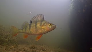 Underwater Hampshire Avon Britford Perch Dace Minnows Feeding Part 1
