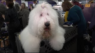 'Blue' Old English Sheepdog Westminster Kennel Club Dog Show 2018