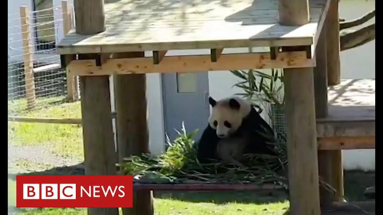 Coronavirus: it's social distancing for the pandas and chimps at Edinburgh Zoo - BBC News