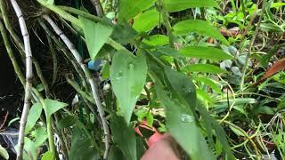 今天立秋了 噴到肥的天宮石斛 今年長的怎麼樣呢?