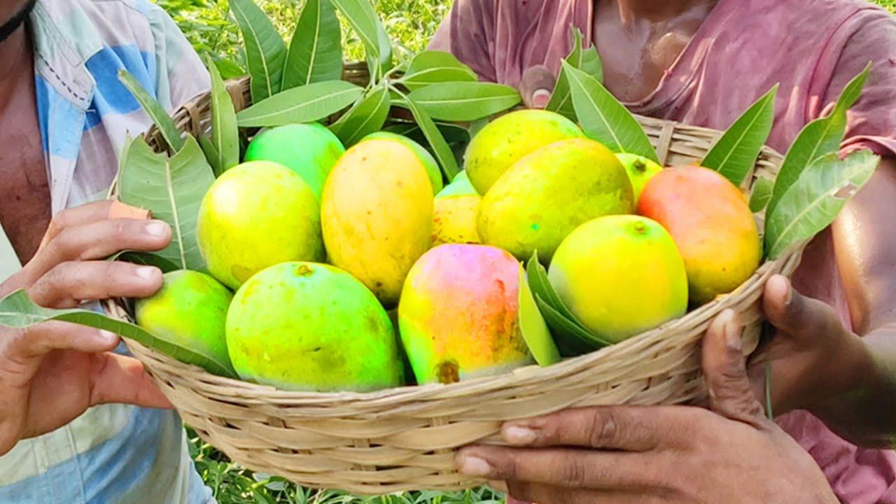 Farm Fresh Organic Mangos Picking and Eating on Mango Tree in My Village | Ripe Mango Fruits