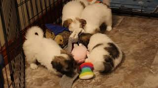 Coton de Tulear Puppies For Sale - Hannah 10/18/21