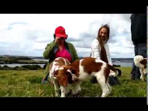A Welshy Weekend - Welsh Springer Spaniel Dogs in Cornwall