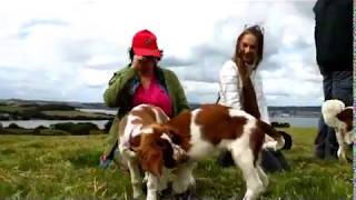 A Welshy Weekend  Welsh Springer Spaniel Dogs in Cornwall
