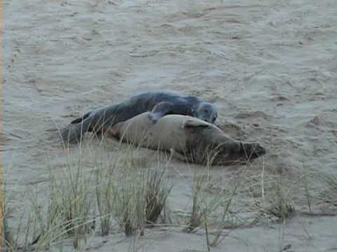 Grey Seal Mating Behaviour