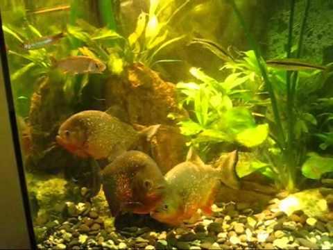 Download Pygocentrus nattereri (amazonia-piranha-world)