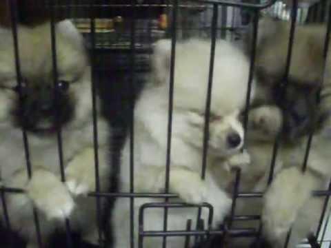 ขายหมาปอมเมอเรเนียนราคาถูก  093-789-2353 www.thaidoghousefarm.com