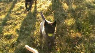 Cairn Terriers Inverurie