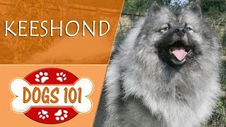 Dogs 101  KEESHOND  Top Dog Facts About the KEESHOND