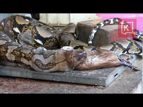 Thai Python Swallows and Vomits TWO Pet Cats