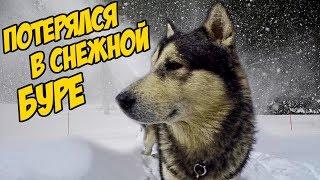 Собаки потерялись в снежной буре