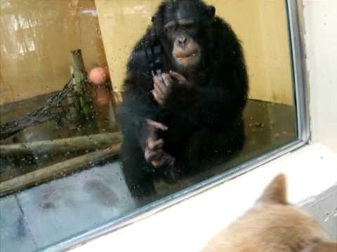 北海道犬とサルーキとチンパンジー♪
