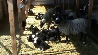 Содержание овец Романовской породы ч. 1