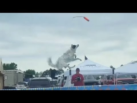 Extremely talented Border Collie jumps over 20 feet