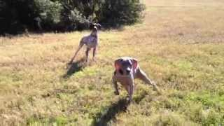 Creeping Weimaraner And Two Wild Pointers