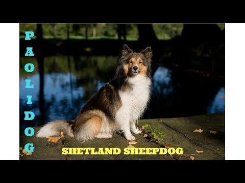 SHETLAND SHEEPDOG (SHELTIE)   TOP 10 INTERESTING FACTS