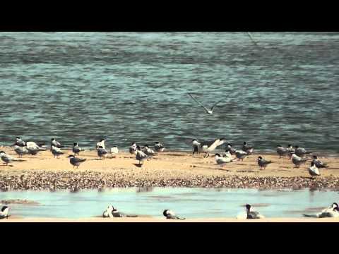 Shorebirds at the Seashore