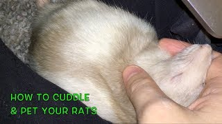 How to Cuddle/Pet Your Rats thumbnail