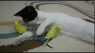 Pisica a adoptat 4 pui de papagali! Uite cum se inteleg cei 5 :D