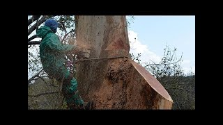 Amazing Extreme Fastest Skills Biggest Tree Felling, Heavy Equipment Chainsaw Cutting Tree Machines