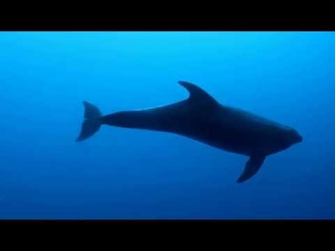 Diving with dolphins in Rhodes