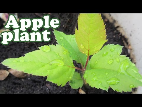 How To Grow An Apple Tree From Seeds - Planting Dwarf Fruit Trees - Growing Apples Fruits - Jazevox