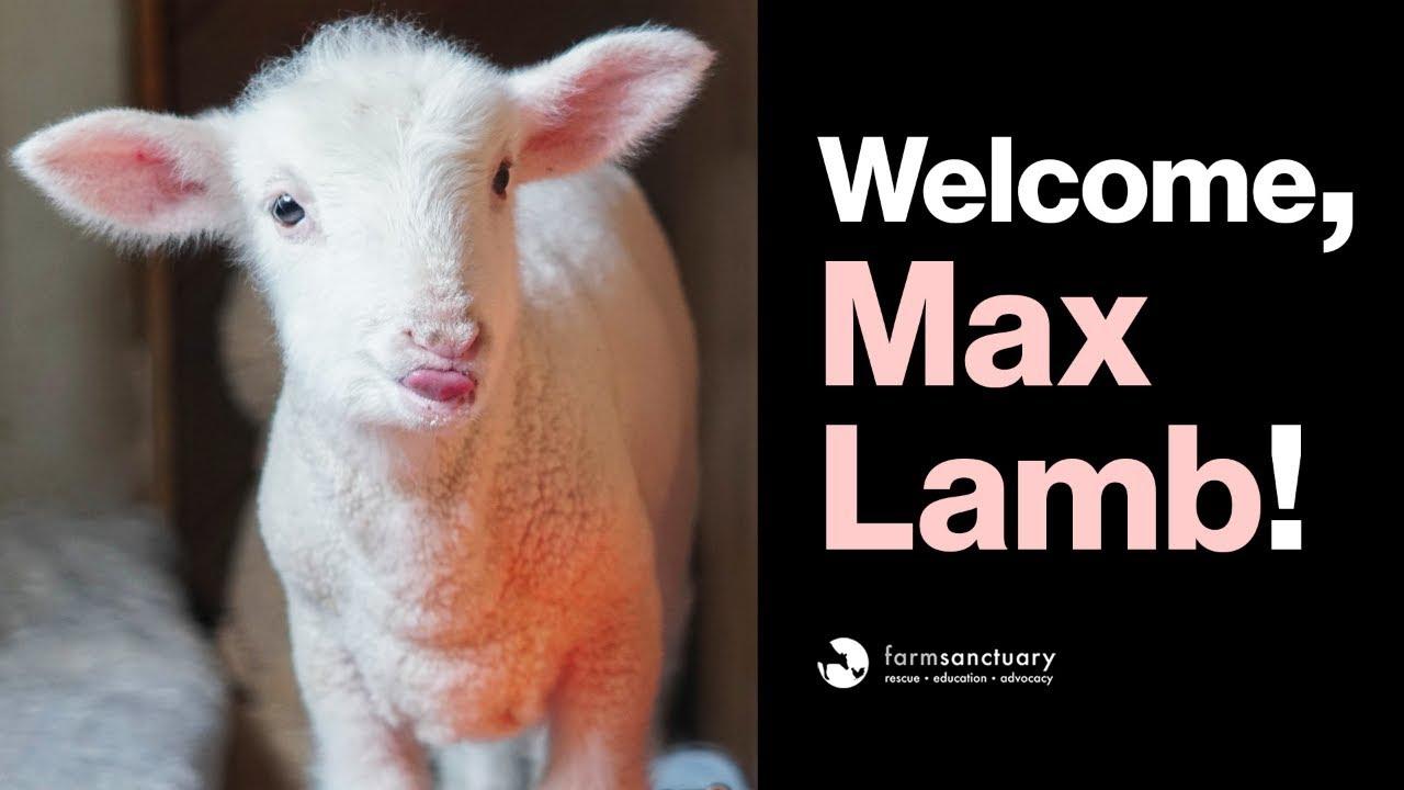 Welcome to Farm Sanctuary, Max Lamb!