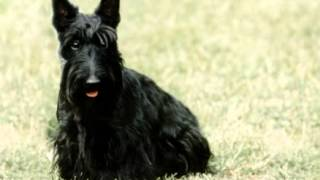 Scottish Terrier Facts - Facts About Scottish Terriers