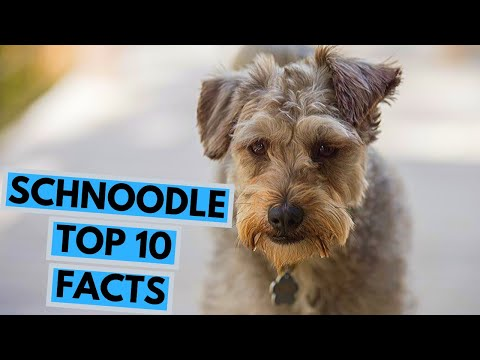 Schnoodle  TOP 10 Interesting Facts