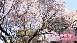 Knowing Gifu City's Fine Points: ″Spring in Full Bloom″