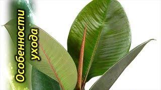 Фикус Эластика или Каучуконосный – секреты выращивания и особенности ухода.