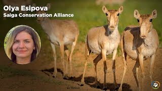 WCN Fall Expo 2017 - Saiga Conservation Alliance- Olya Esipova